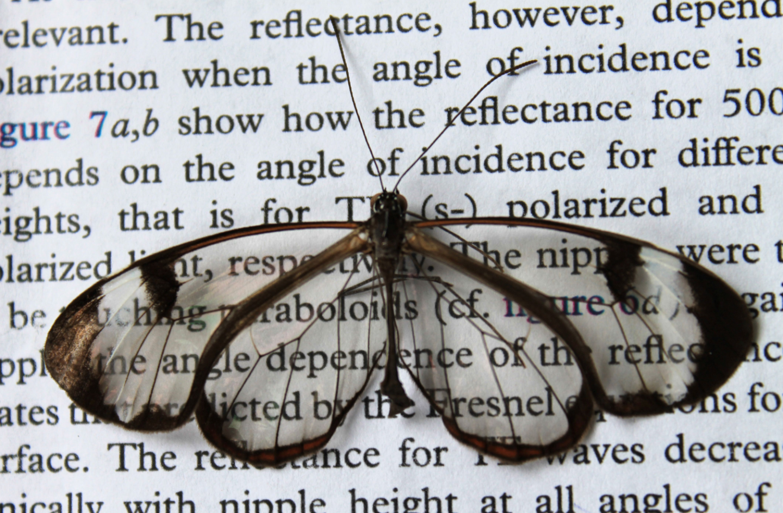 Glasswing butterfly / Radwanul Hasan Siddique, KIT.