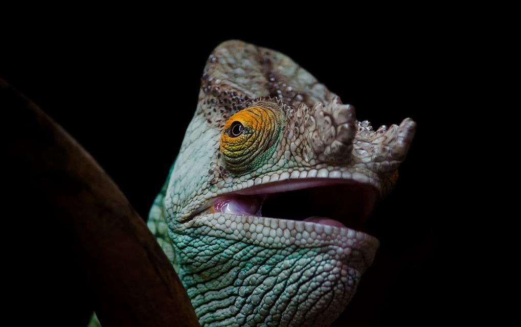 Parson's Chameleon close up - By Steve Wilson