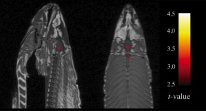fmri of dead salmon