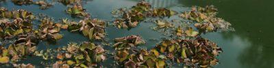 Pond algae | cc Caroline Reid